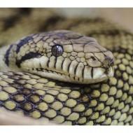 Pitonul african, python sebae,este un sarpe urias, fara venin, apartinand familieipythonidae.Pitonul african este nativ zonei sub-sahariene a Africii si este cunoscut pentru dimensiunile sale enorme si pentru comportamentul sau agresiv. […]