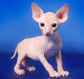 Sfinx Pisica